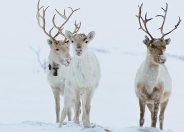 reindeer-snow-winter-beitrag-loeydae-scandinavia-gotta-joga-shutterstock